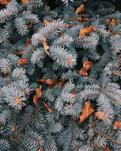 Pine trees and leaves.